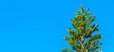 Pinheiro para árvore de natal. - 176409356