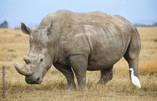 Fotobehang Neushoorn A white rhinoceros and a cattle egret on yellow savanna grass