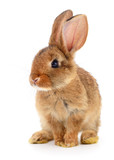 Brown rabbit on white. - 176420301