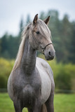 Portrait of young grey andalusian horse