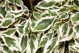 Cornus controversa (variegata) - leaves and details - 176430382