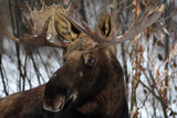 Mr. Moose - 176433374