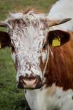 Kuh, Kühe, Rinder auf der Weide  - 176433946