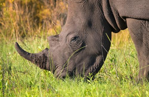 Aluminium Neushoorn Closeup of single male white rhino in the South African bush