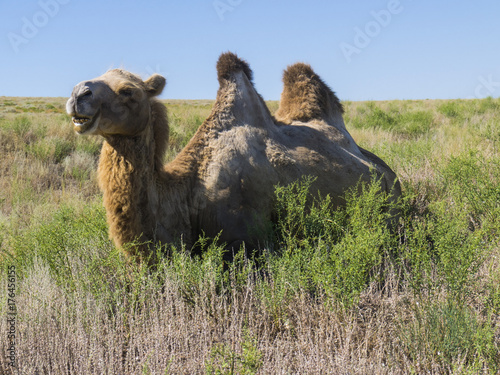 Fotobehang Kameel A herd of bactrian camels feed on grass