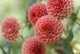 Group of Peach Colored Dahlias in Garden - 176459527