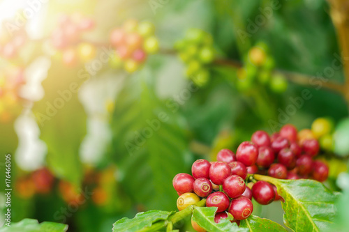 Fotobehang Kersen Close up of cherry coffee beans on the branch of coffee plant before harvesting