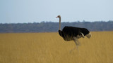 Strauß im Wüstengras, Etosha-Nationalpark