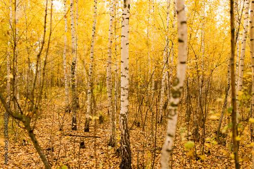 Fotobehang Oranje trunk of a birch in the autumn