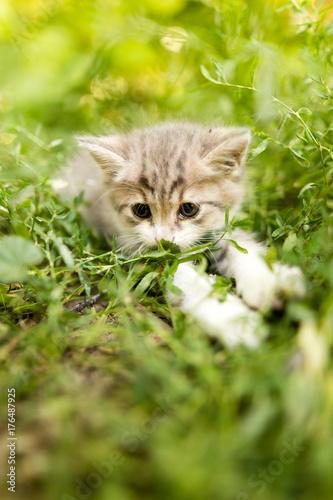 Papiers peints Herbe little kitten is walking in green grass outdoors