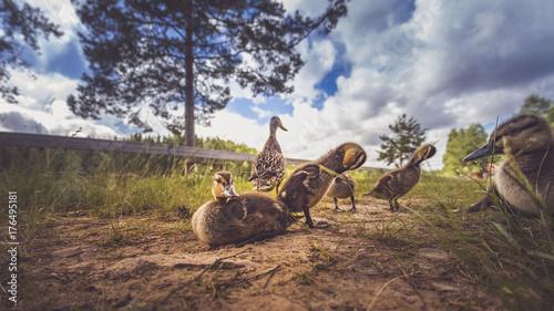 Fotobehang Kameel Enten als Familie in der Gruppe mit Mutter und kleinen Küken im Gras bei Sonne im Sommer in Schweden