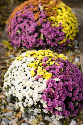 Poster colorful chrysanthemum flower