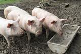 Drei Schweinchen im Freilauf warten auf Futter - 176502734