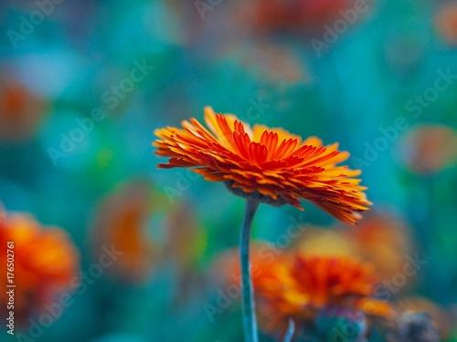 Fridge magnet Marigold