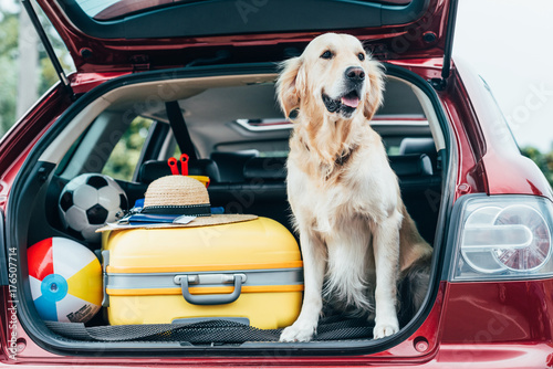 Poster Bol dog sitting in car trunk with luggage