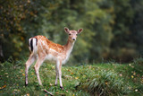 beautiful fallow deer standing in the forest - 176508729