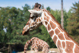 Portrait of a charming lady with long neck, giraffe - 176510541