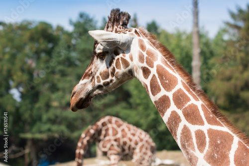 Portrait of a charming lady with long neck, giraffe Poster