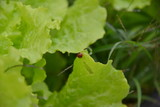 vegetable leaves and ladybird - 176513162