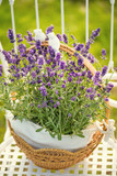 beauty and fresh lavender in the flower pot - 176515906