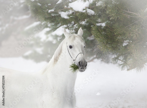 Portrait of white horse on the pine-trees and snow background - 176523104