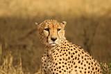 Cheetah Duma - 176538174