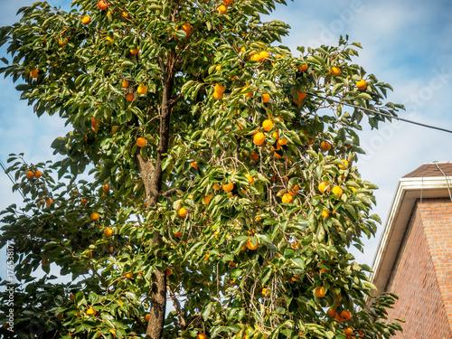 Tangerine tree in autumn Poster