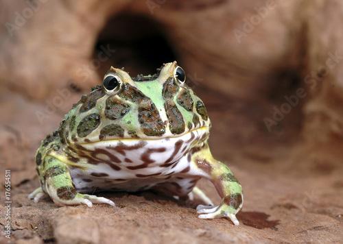 Fotobehang Kikker frog ceratophrys