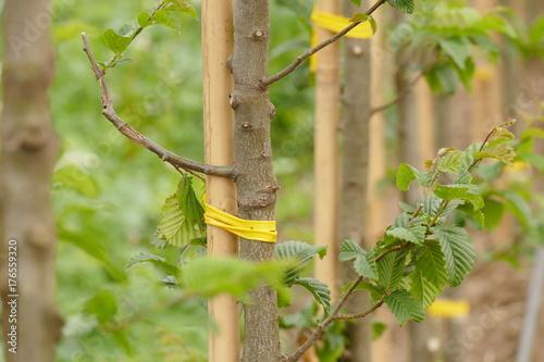 Junge Pflanzen, Carpinus betulus,in einer Baumschule