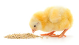 Baby chicken having a meal - 176560779