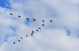 Flock of geese migrating in the fall - 176560982