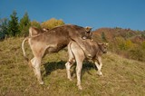 cows - 176569528