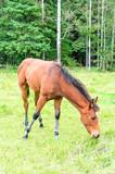 Young Foal Horse Grazing - 176570742
