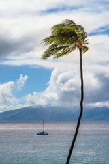 Palm Tree Blowing in Maui Trade Winds