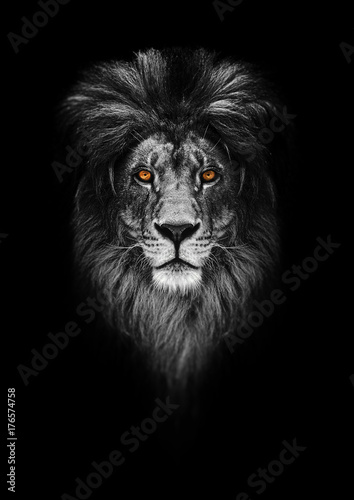 Portrait of a Beautiful lion, lion in dark Poster