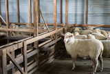 Sheep waiting to be shorn in the shaering shed - 176587559