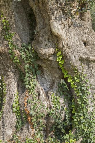 Alter mächtiger Baunstamm eines Olivenbaumes Poster