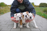 English bulldog puppy. The owner embraces three cute puppies of a bulldog outdoors - 176591112