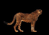 Cheetah spotted isolated at black - 176597117