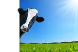 Mucca che guarda e panorama con prateria e raggi di sole - 176598581