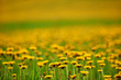 Intentionally blurred field of dandelions - 176599144