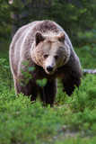 Brown bear in the forest - 176611135