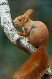 Red squirrel on a tree - 176612381