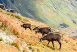 wild goats in the mountains - 176613129