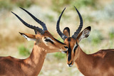 Two black faced impala - 176614347