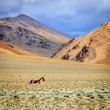 Quadro Tibetan Wild Ass