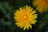 Löwenzahn (Taraxacum sect. Ruderalia) - gelbe Blüte