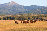Herd of Bison grazing in the plains in the Grand Teton National Park, WY, USA - 176626711