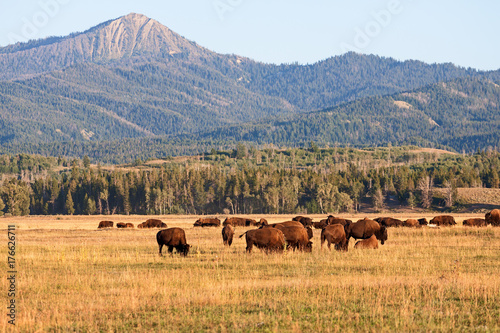 Fotobehang Bison Herd of Bison grazing in the plains in the Grand Teton National Park, WY, USA