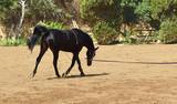 Cheval à l'entraînement: le trot - 176629392